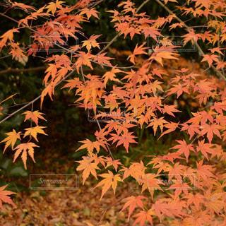 秋の葉っぱの写真・画像素材[1017470]