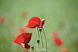 赤い花の写真・画像素材[1233917]