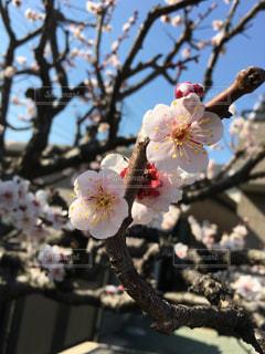 梅の花の写真・画像素材[1017796]