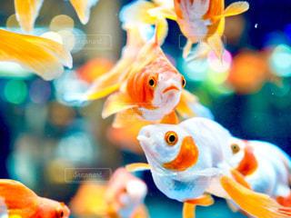 金魚たちの写真・画像素材[1026666]