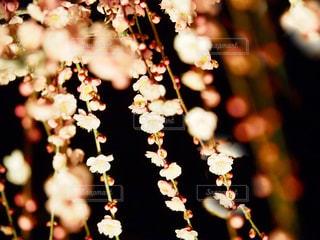 夜に咲き誇るの写真・画像素材[1033903]