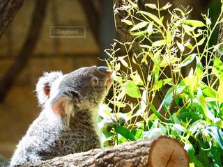 お腹すいたコアラの写真・画像素材[1043220]