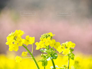 菜の花と桜🌸 - No.1054834