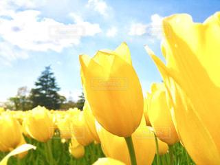 黄色のチューリップ達の写真・画像素材[1059715]