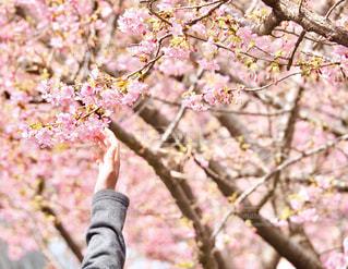 春に触れるの写真・画像素材[1060068]