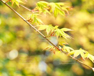 桜に隠れての写真・画像素材[1082892]