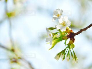 白い桜の写真・画像素材[1082896]