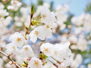 青空と桜の写真・画像素材[1082916]