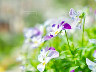 可憐な花たちの写真・画像素材[1099671]