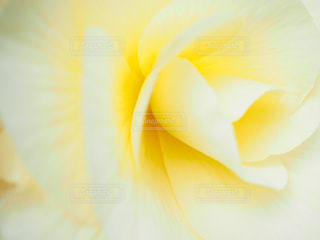 優しい黄色の写真・画像素材[1103236]