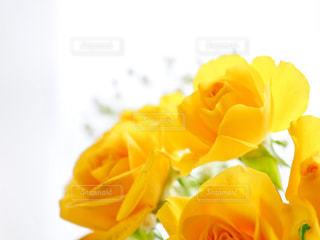 黄色いバラの写真・画像素材[1121351]