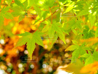 秋を待つの写真・画像素材[1216447]