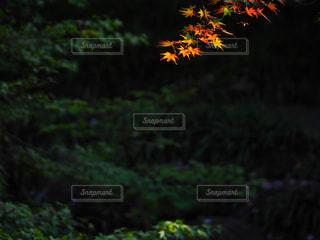 秋色の枝の写真・画像素材[1216460]