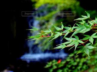 滝という楓の写真・画像素材[1216479]