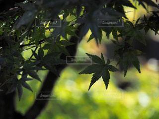 楓の葉の写真・画像素材[1216489]