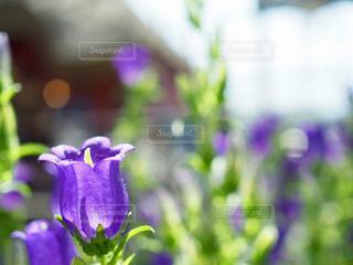 紫のカンパニュラの写真・画像素材[1353107]