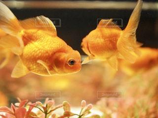 金魚たちの写真・画像素材[1407569]