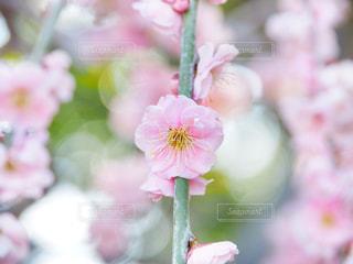 梅の花の写真・画像素材[1841610]