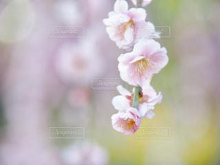 梅の花の写真・画像素材[1841611]