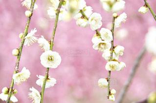 白い梅の花の写真・画像素材[1841613]