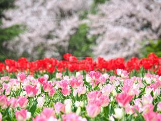 花畑の写真・画像素材[1844093]