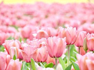 ピンクピンクの写真・画像素材[1844096]