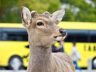 観光バスと鹿の写真・画像素材[1871320]