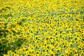 ひまわり畑の写真・画像素材[2313910]