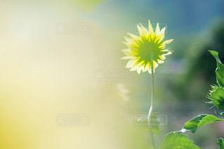 凛と咲くの写真・画像素材[2327508]