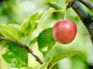 りんごが一つの写真・画像素材[2623901]