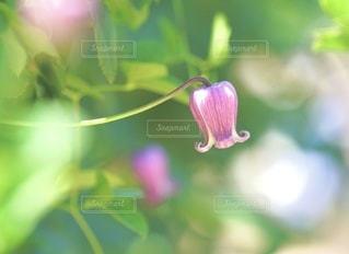 ピンクさんの写真・画像素材[3330935]
