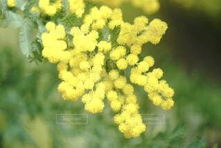 ミモザの花の写真・画像素材[4224894]