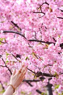 春に手を伸ばすの写真・画像素材[4267347]