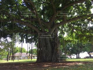 公園の大きな木の写真・画像素材[1018146]