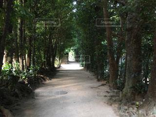 本部町の備瀬のフクギ並木の写真・画像素材[1070177]