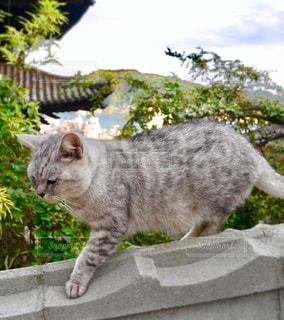 塀の上を歩く猫の写真・画像素材[1018884]
