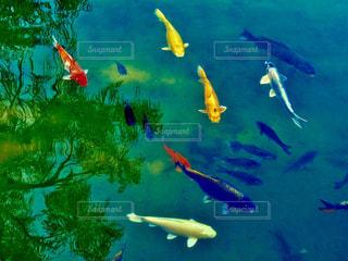 お城のお堀の鯉たちの写真・画像素材[1018955]