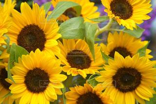 黄色の花の写真・画像素材[1292478]