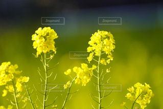 菜の花の写真・画像素材[2967067]