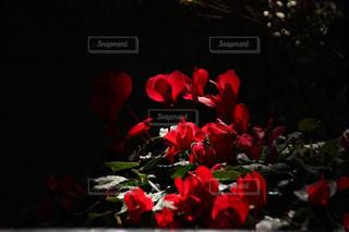 暗闇にあるバラの写真・画像素材[1019248]