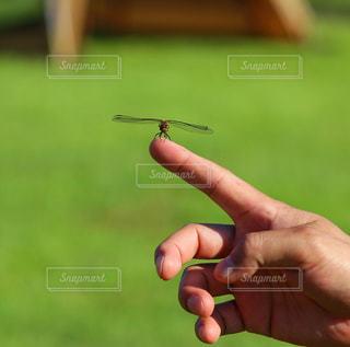人差し指にトンボの写真・画像素材[1042988]