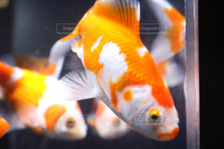 金魚の写真・画像素材[1683090]