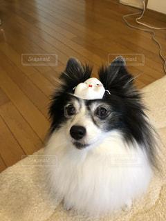 ひな祭りのお面をつけた犬の写真・画像素材[1019615]