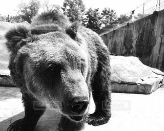 カメラに近いヒグマの写真・画像素材[1020018]