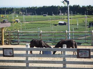 馬と茶畑の写真・画像素材[1020664]