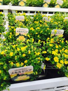 黄色の花の写真・画像素材[1024719]