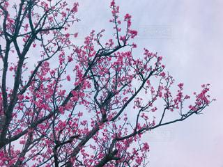 曇りの日にピンクの花の木の写真・画像素材[1022133]
