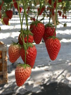 イチゴ狩りのイチゴの写真・画像素材[1021691]