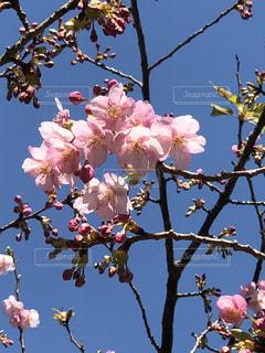 河津桜の写真・画像素材[1021692]