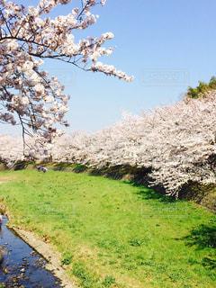 川辺の桜並木の写真・画像素材[1021935]